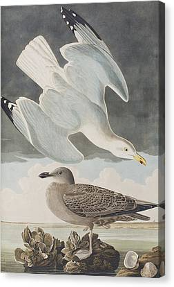 Herring Canvas Print - Herring Gull by John James Audubon