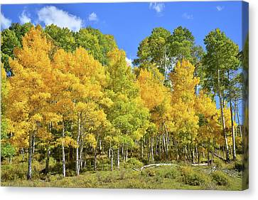 Canvas Print featuring the photograph High Country Aspens by Ray Mathis