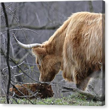 Highland New Born Canvas Print