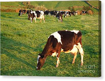 Holstein Cattle Canvas Print by Gaspar Avila