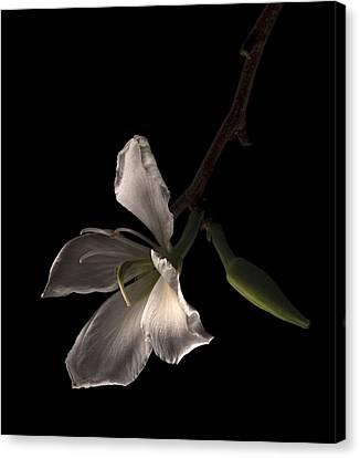 Hong Kong Orchid Canvas Print by Lou  Novick