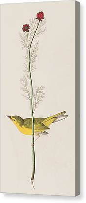 Hooded Warbler Canvas Print by John James Audubon