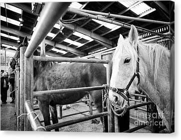 Horses To Be Auctioned At Horse And Livestock Auction Barn Beeston Castle England Uk Canvas Print by Joe Fox