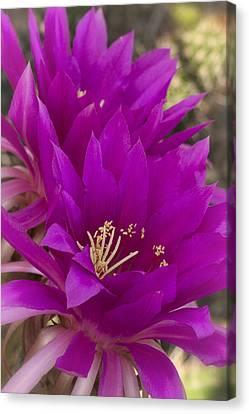 Fuschia Canvas Print - Hot Pink Cactus Flowers  by Saija Lehtonen