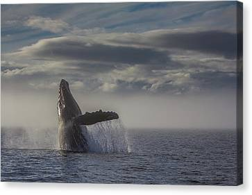 Whalers Cove Canvas Print - Humback Whale Breaching In Chatham Strait by Wild Montana Images