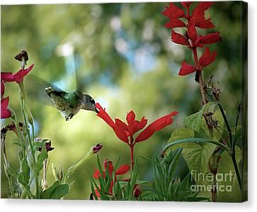 Hummingbird Delight Canvas Print by Sue Stefanowicz