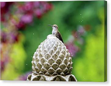 Hummingbird On Garden Water Fountain Canvas Print by David Gn