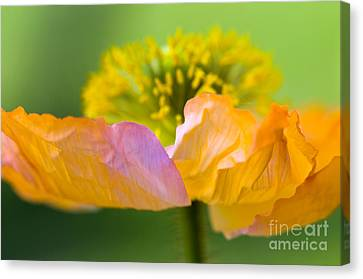 Iceland Poppy Canvas Print by Silke Magino