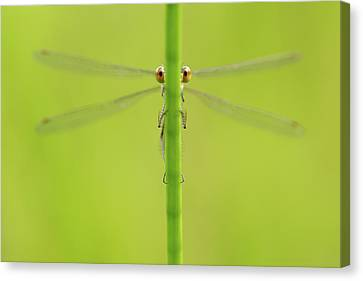 Damselfly Canvas Print - I'm Hiding - The Sequel by Roeselien Raimond