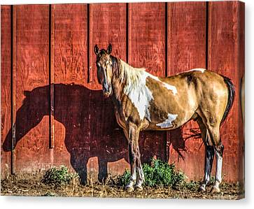 #0783 - Buckskin On Red Canvas Print