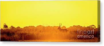 Impala Sunset Silhouette Canvas Print by Tim Hester