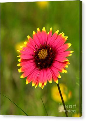 Indian Blanket Canvas Print