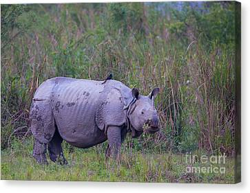 Indian Rhinoceros, India Canvas Print