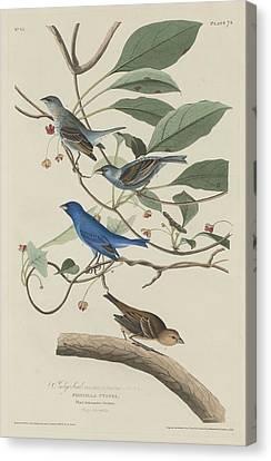 Outside Canvas Print - Indigo Bird by Dreyer Wildlife Print Collections