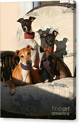 Italian Greyhounds Canvas Print by Angela Rath