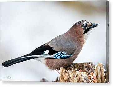 Jay In Profile Canvas Print by Torbjorn Swenelius