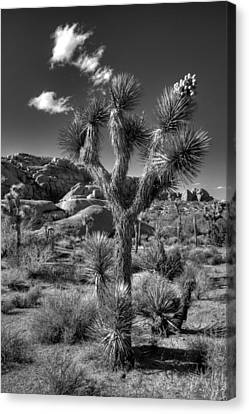Joshua Tree And Cloud Canvas Print by Peter Tellone