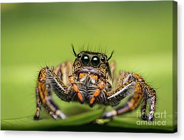 Canvas Print featuring the photograph Jumping Spider On Green Leaf. by Tosporn Preede