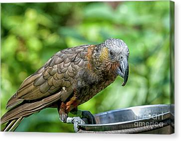 Canvas Print featuring the photograph Kaka by Patricia Hofmeester