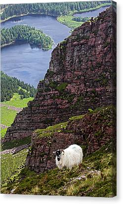 Kerry Mountain Sheep Ireland Canvas Print by Pierre Leclerc Photography