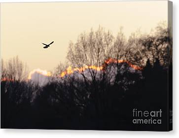 Kestrel Hunting At Sunset Canvas Print