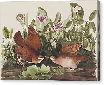 Quail Canvas Print - Key West Dove by John James Audubon