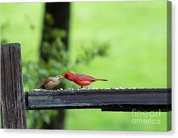 Kissing Cardinals Canvas Print by Dan Friend