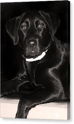 Labrador Retriever  Canvas Print by Cathy  Beharriell