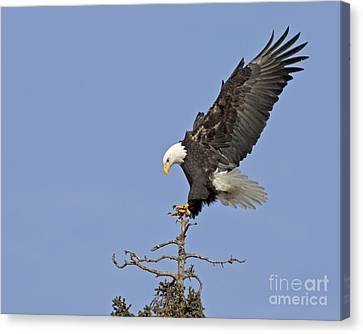 Landing Eagle Canvas Print