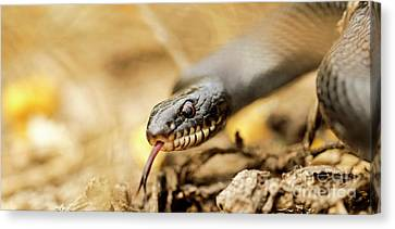 Whip-snake Canvas Print - Large Whipsnake Coluber Jugularis by Alon Meir