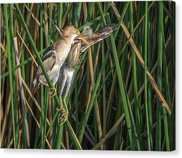 Least Bittern Adult And Juvenile Canvas Print by Tam Ryan