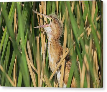 Least Bittern Yawn 3860 Canvas Print by Tam Ryan