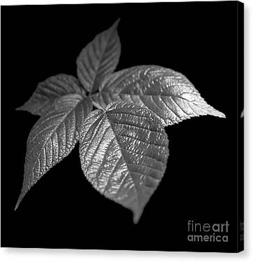 Leaves Canvas Print by Tony Cordoza