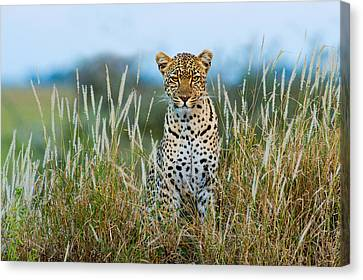 Leopard Panthera Pardus, Serengeti Canvas Print by Panoramic Images