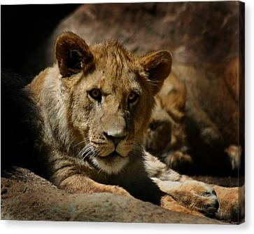 Lion Cub Canvas Print by Anthony Jones