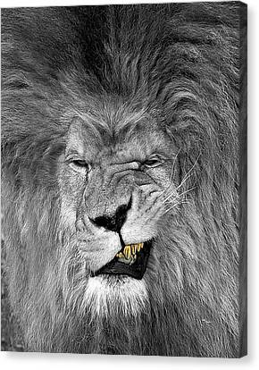 Igers Canvas Print - Lion King  by Oscar Benero Lopez