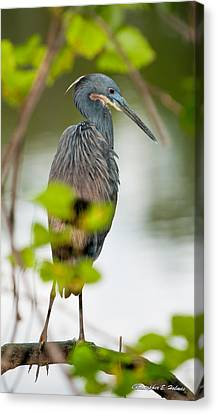 Canvas Print featuring the photograph Little Blue Heron by Christopher Holmes