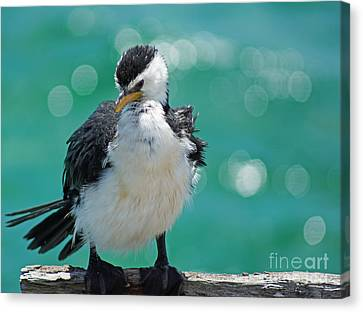 Little Pied Cormorant I Canvas Print by Cassandra Buckley