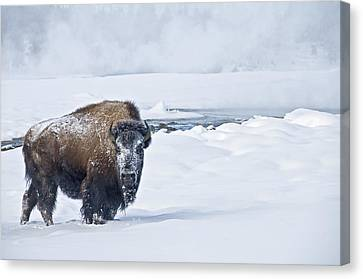 Lone Bison Canvas Print by Gary Lengyel
