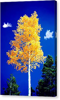 Lone Golden Aspen Canvas Print