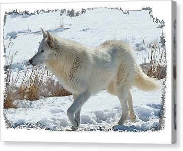 Lone White Wolf Canvas Print by Lena  Owens OLena Art