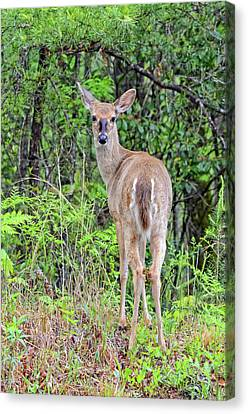 Looking Back Canvas Print by Susan Leggett