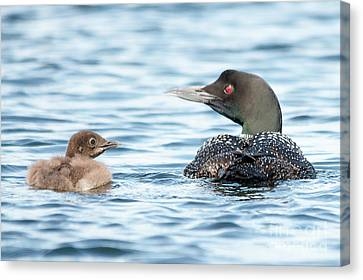 Loon Family Canvas Print by Cheryl Baxter