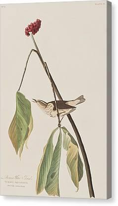 Louisiana Water Thrush Canvas Print by John James Audubon