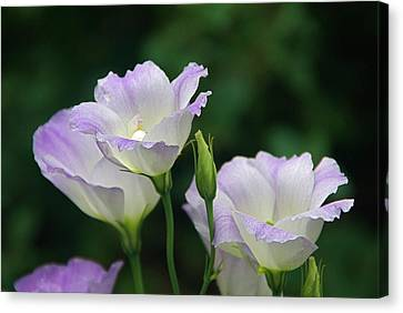 Canvas Print featuring the photograph Lovely Lisianthus by Byron Varvarigos