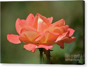 Lovely Rose Canvas Print by Ruth Housley