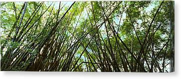 Low Angle View Of Bamboo Trees, Oahu Canvas Print by Panoramic Images