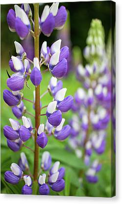 Canvas Print featuring the photograph Lupine Blossom by Robert Clifford