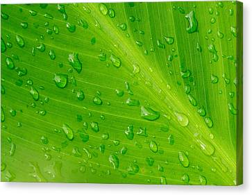 Nature Canvas Print - Macro Closeup Of Waterdrops On A Leaf by John Williams