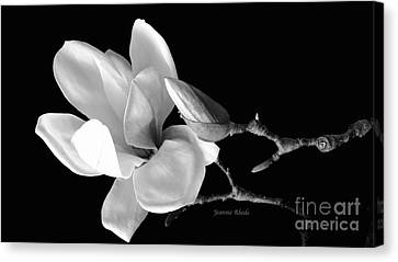 Magnolia In Monochrome Canvas Print by Jeannie Rhode